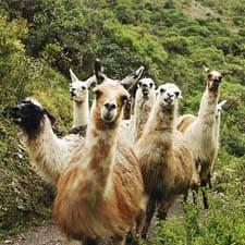 Faune de l'Inca des Andes