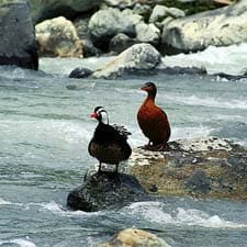 Canard torrent sur le chemin de l'Inca